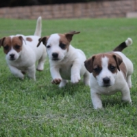 5 super cute puppy Jack Russel's want to live with you. Cute, playfull