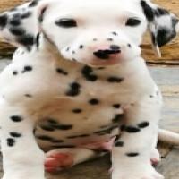 Pure Bred Dalmatian Puppies