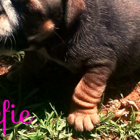 Beautifull Bulldog puppies 4sale