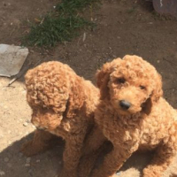 Red standard Poodle Pups vet checked & 9 weeks old.