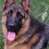 Registered 9 month old German Shepherd