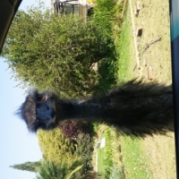 Emu for sale