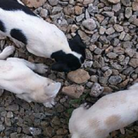 ADORABLE T CUP PUPPIES FOR SALE