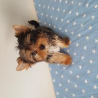 Tiny Yorkshire Terrier Boy