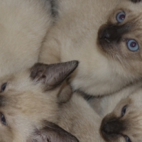 3 Lovely Pure Bred Seal Point Siamese Kittens For Sale