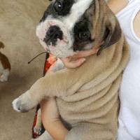 English Bulldog Puppy Female (13 weeks old)