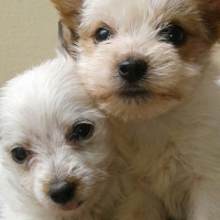 Yorkshire Terrier White Sable miniature puppies