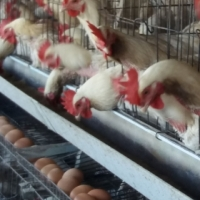 Point-of-Lays Chickens For Sale