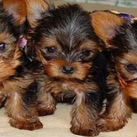 Pure Bred Miniature Yorkie Pups for Sale!