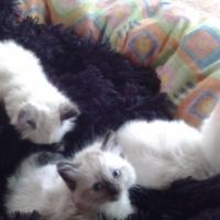 Rag-doll Kittens