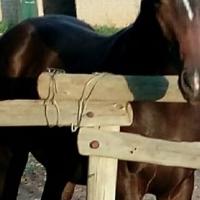 Stunning SA Warmblood colt for sale