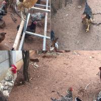 Free Range Zulu chicken grain fed fresh water daily