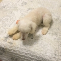 Toy Poodle pups 2x white males.
