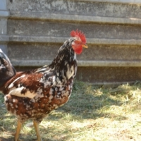 Exotic Boschveld Chickens