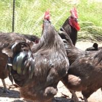 Exotic Black Australorp Chicken