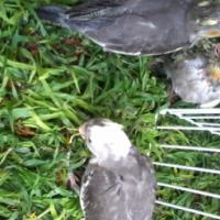Handreared Cockatiels