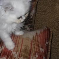Persian Chinchila Kittens