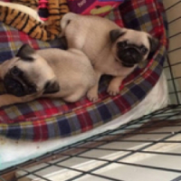 Awesome pug babies for sale