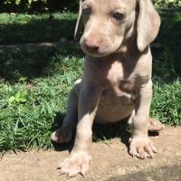 Pure bred Weimaraner female puppy for sale