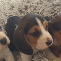 Healthy Beagles