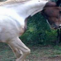 American Saddler gelding (Pinto) Brown and White