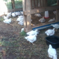 200 Chickens for Sale