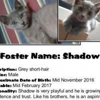 Kitten - Shadow (male) CatzRus Adoption