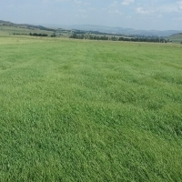 New Season Top Quality Teff Bales for Sale