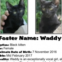 Waddy is a chatty young lady, purrfect for your daily DMC! - a CatzRus kitten
