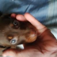 worsie puppie