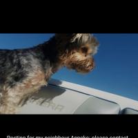 Yorkie, Bienkie, missing Linden Area