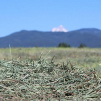 Eragrostis square bales