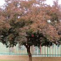 Forest bushwillow trees for sale