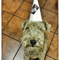 Missing Wire Hair Terrier