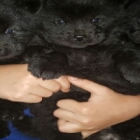 8 week old Chow puppies
