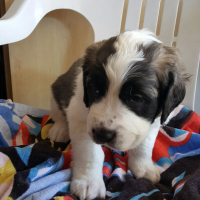 Large breed st bernard pups