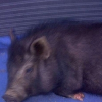 Potbelly Pig and bed for sale!