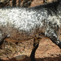 Beautiful pure-bred Northern Cape Skilder ram for sale