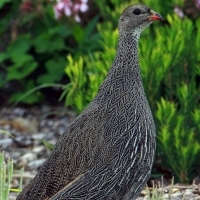 Wanted - Cape Spurfowl / Francolin