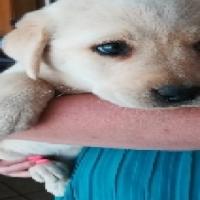 Golden retriever Labrador pups