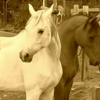 Part bred Arab mares for sale