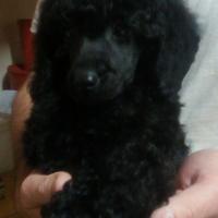 Kusa reg.Miniature French Poodle Puppies