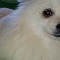 Toy pom male for sale