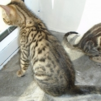 100% Purebred And Registered Bengal Kittens