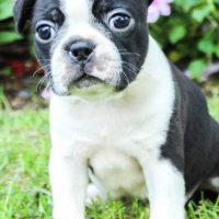 Beautiful Boston Terrier  puppies ready to love