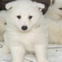 Samoyed puppies available now