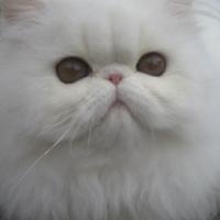 Persian cat breeders kzn