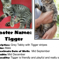 Kids, Dogs, and Cats - Tigger loves them all! Adopt this sociable CatzRUs tabby boy.