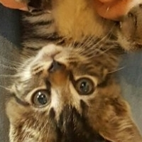 Tabby Love! Gorgeous Male available from CatzRUs Rescue & Foster Organisation.