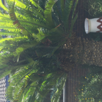 old cycad for sale